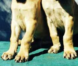 Puppy On The Right Shows Inside Leg As An Example Of Beginning Early Knuckling Over We See At 5 7 Weeks Age This Is Not